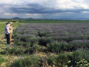 Lavender Field 2016