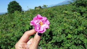 Bulgarian Rose Flower